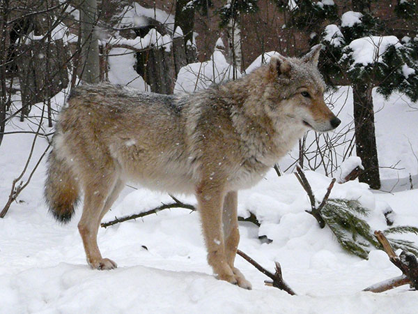 Grey wolf / Canis lupus