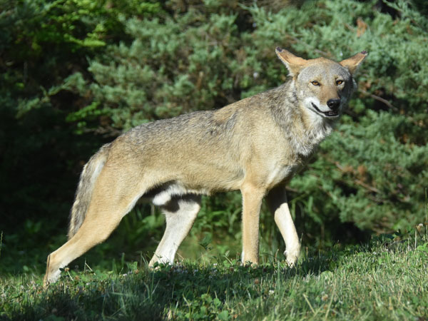 Red wolf / Canis rufus