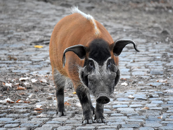 Red River hog / Potamochoerus porcus