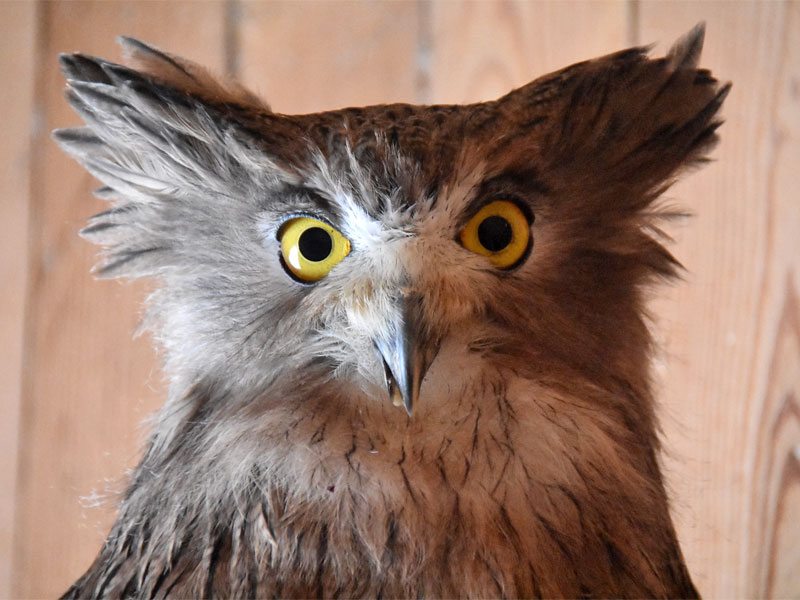 photo Bubo blakistoni doerriesi / Blakiston's fish owl
