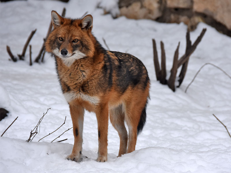 photo Canis aureus moreotica / Golden jackal