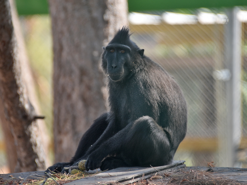 Sulawesi crested macaque / Macaca nigra
