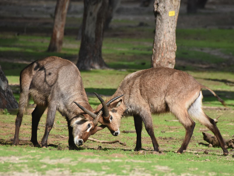 photo Kobus ellipsiprymnus defassa / Defassa waterbuck
