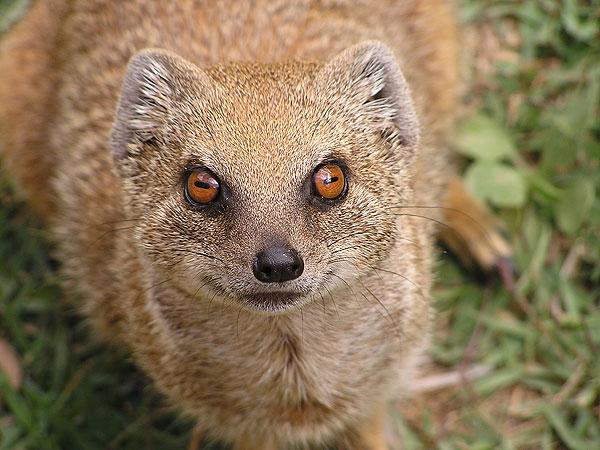 Yellow mongoose / Cynictis penicillata