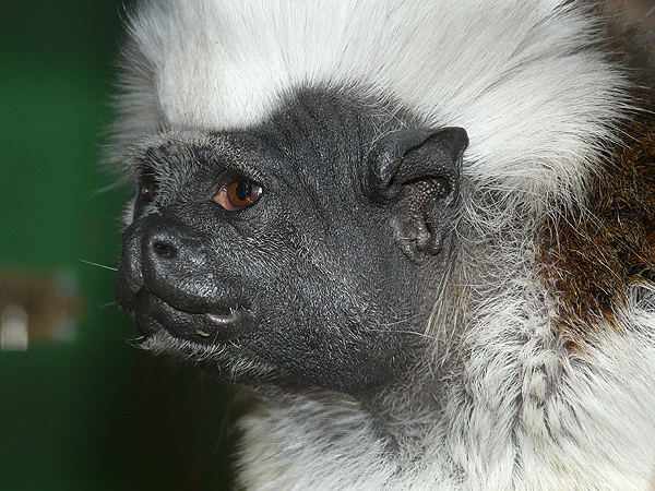 Cotton-top tamarin / Saguinus oedipus