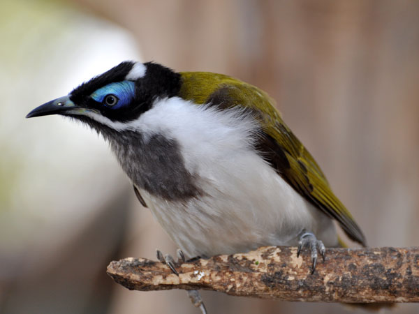 Blue-faced honeyeater / Entomyzon cyanotis