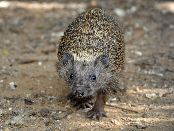 Eastern European hedgehog / Erinaceus concolor