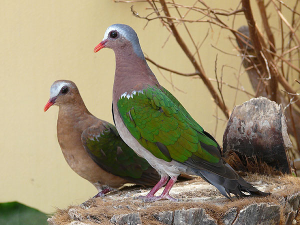 Grey-capped emerald dove / Chalcophaps indica