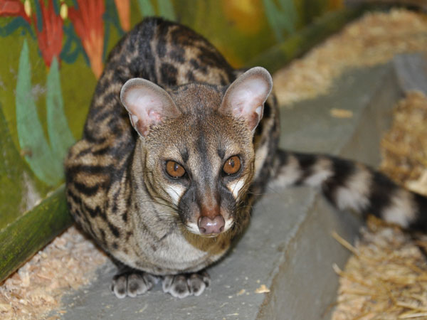 Large-spotted genet / Genetta tigrina