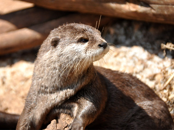 Oriental small-clawed otter / Aonyx cinereus