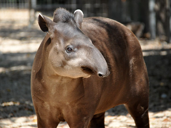 South American tapir / Tapirus terrestris