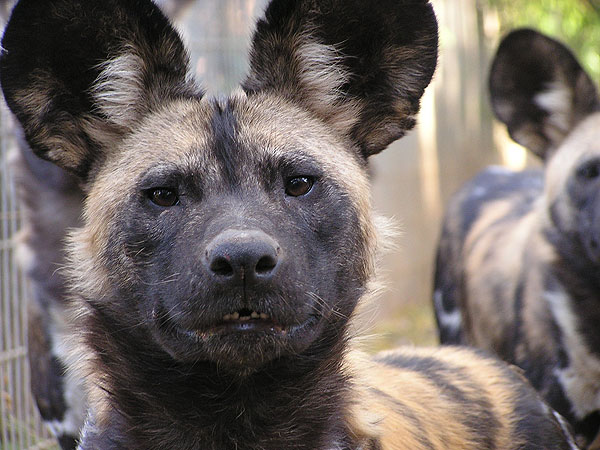 African hunting dog / Lycaon pictus