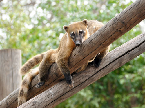 Brown-nosed coati / Nasua nasua