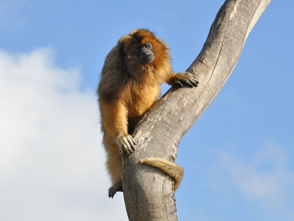 photo Alouatta caraya / Black howler