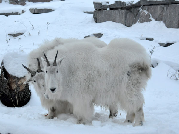 photo Oreamnos americanus / Rocky Mountain goat