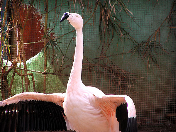 Chilean flamingo / Phoenicopterus chilensis