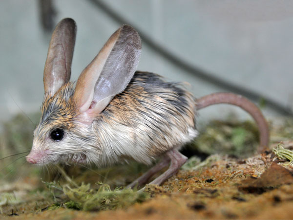 Long-eared jerboa / Euchoreutes naso