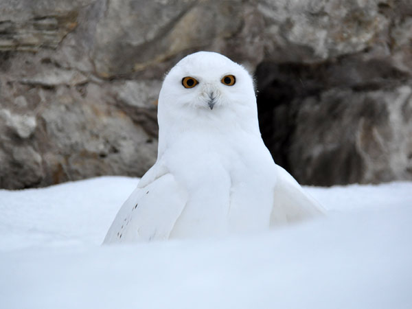 photo Bubo scandiaca / Snowy owl