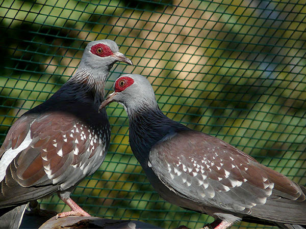 Speckled pigeon / Columba guinea