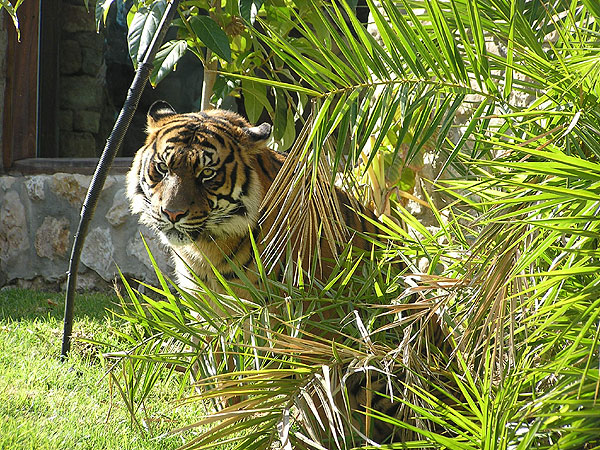 photo Panthera tigris sumatrae / Sumatran tiger