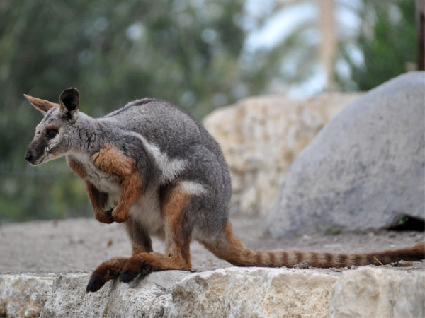 Yellow-footed rock wallaby / Petrogale xanthopus xanthopus