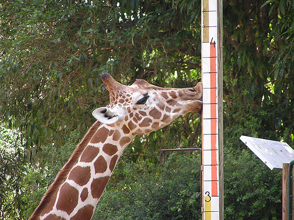photo Giraffa camelopardalis reticulata / Reticulated giraffe