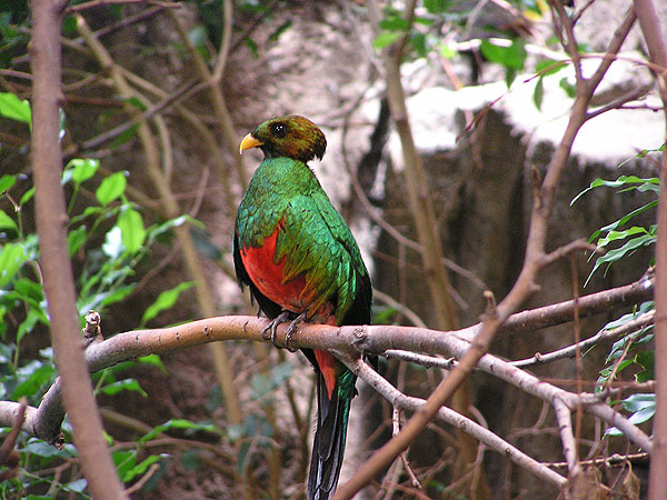 Golden-headed quetzal / Pharomachrus auriceps