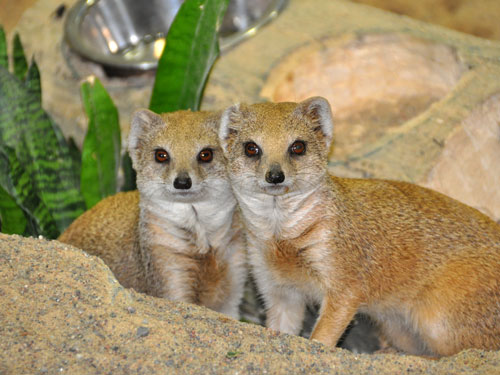 photo Cynictis penicillata / Yellow mongoose