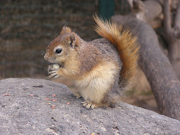 Persian squirrel / Sciurus anomalus
