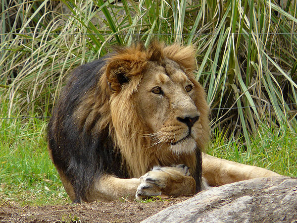 Asian lion / Panthera leo persica