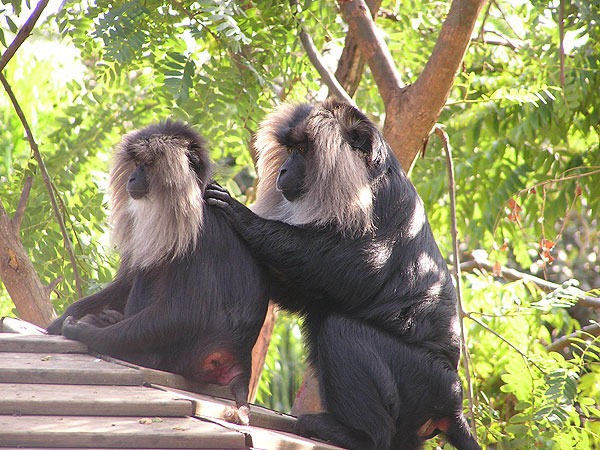 Lion-tailed macaque / Macaca silenus