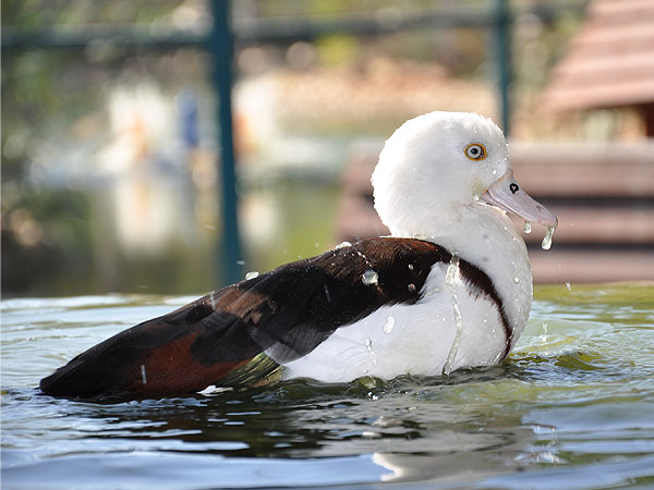 photo Radjah radjah / Radjah shelduck