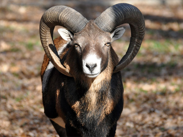 photo Ovis aries musimon / Mouflon