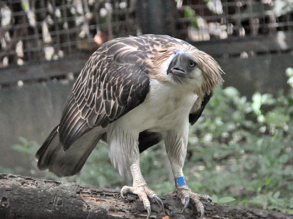 Philippine eagle / Pithecophaga jefferyi