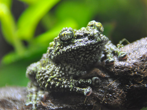 Tonkin bug-eyed frog / Theloderma corticale