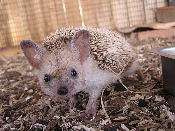 Long-eared hedgehog / Hemiechinus auritus