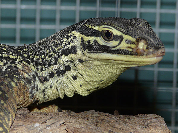 Yellow-spotted monitor / Varanus panoptes