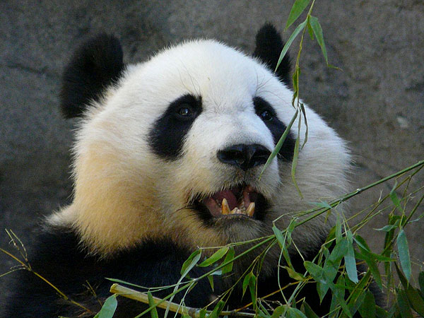photo Ailuropoda melanoleuca / Giant panda