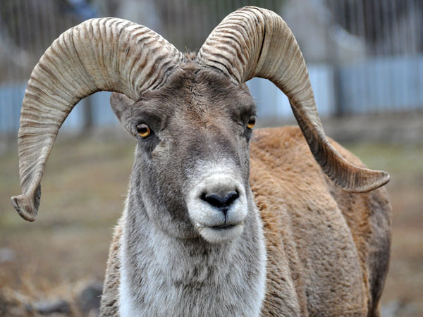photo Ovis ammon collium / Semipalatinsk argali