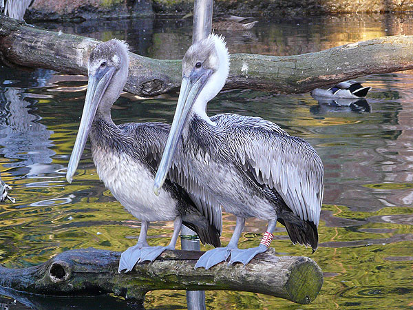 photo Pelecanus occidentalis carolinensis / Eastern brown pelican