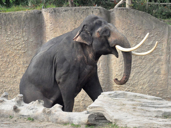 photo Elephas maximus / Asiatic elephant