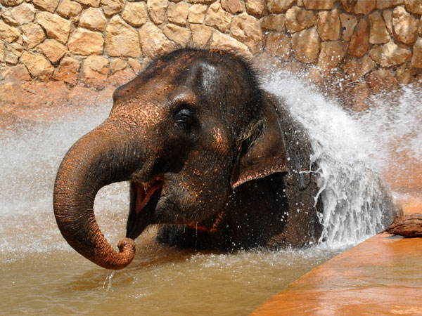 Asiatic elephant / Elephas maximus