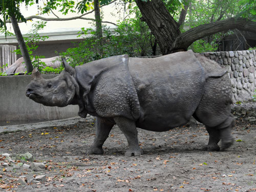 Indian rhinoceros / Rhinoceros unicornis