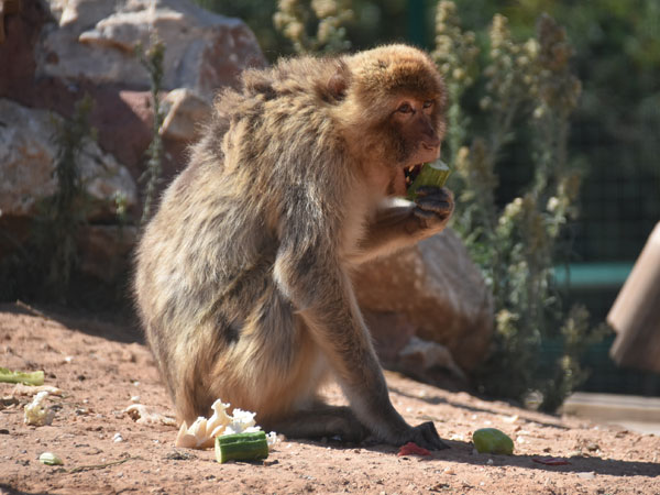 photo Macaca sylvanus / Barbary ape