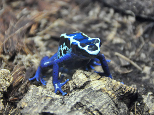 Yellow-and-blue poison dart frog / Dendrobates tinctorius<br> Total: 27