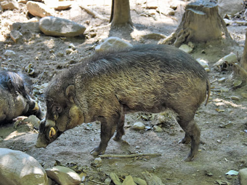 photo Visayan warty pig / <span class='cursive'>Sus cebifrons</span>