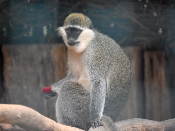 photo Chlorocebus aethiops / Green monkey