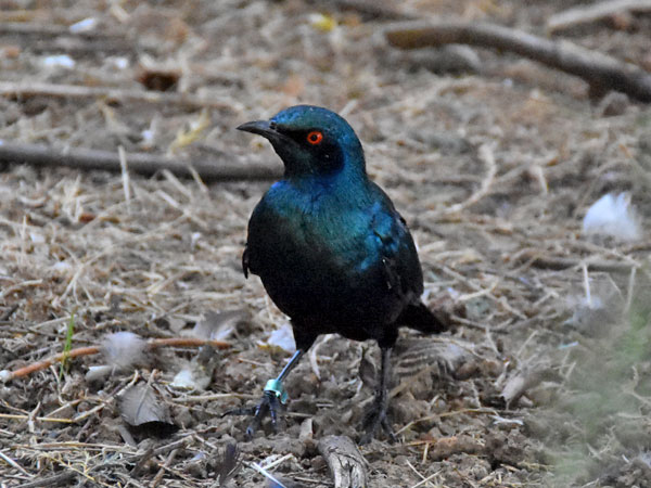 photo Greater blue-eared glossy starling / <span class='cursive'>Lamprotornis chalybaeus</span>