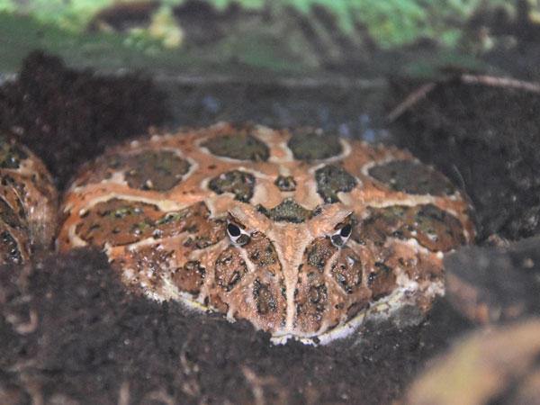photo Ornate horned frog / <span class='cursive'>Ceratophrys ornata</span>