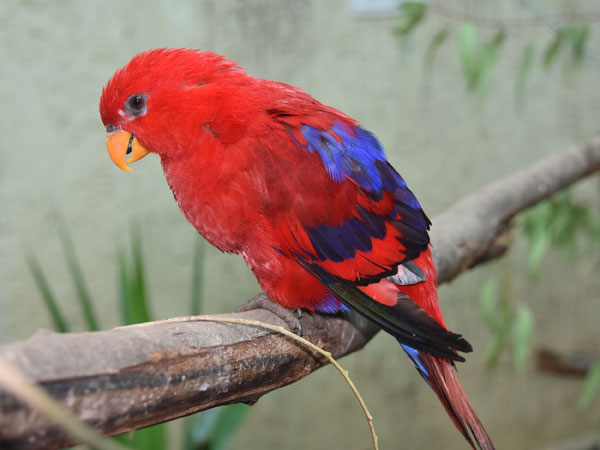 Red lory